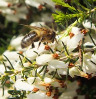 Bee feeding on flowers of a heath plant