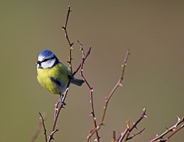 The blue tit is another of our most common garden birds. Photo by Adrian McGrath