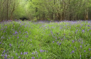 A carpet of Bluebells in a wood in Co. Fermanagh - Photo by Adrian McGrath