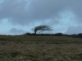 A wind-blown tree in the Burren, Co. Clare