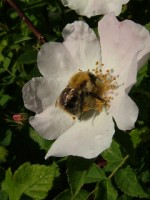 Bumble bee on wild rose, Galway city