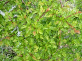 Hawthorn is commonly used in Irish hedgerows