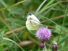 Green-veined White Butterfly (Pieris napi) on knapweed, Longmeadow, Athlone, Co. Westmeath
