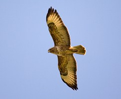 A buzzard in flight over Banbridge, Co. Down - photographed by Adrian McGrath