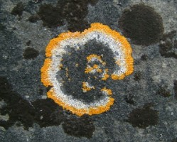 A lichen, possibly caloplaca flavescens on a headstone at Ballymote friary, Co. Sligo