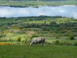 Cow grazing overlooking Lough Derg, Co. Tipperary