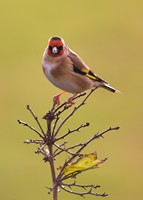 Goldfinch is a seed eater and loves teasels & thistles. Photo by Adrian McGrath