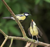 Great Tits are one of the bird species that feed on berries. Photo by Adrian McGrath