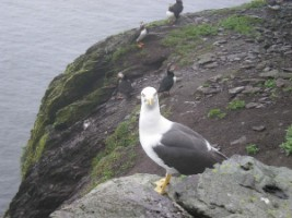 Lesser Black-backed Gull (Larus fuscus) & Puffins (Fratercula arctica] in background, Scellig Michael, Co. Kerry