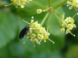 Insect on an umbellifer, San Damiano, Assisi