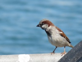 House Sparrow (Passer domesticus), Loughshinny Harbour, Co. Dublin