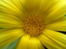 Calendula Marigold - a little closer
