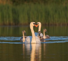 A family of mute swans on a lake. Photo by Adrian McGrath