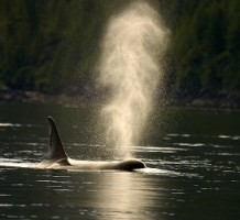 An orca (Killer Whale) in waters of Canada - Photo by Adrian McGrath