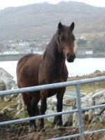 Horse in a field in Connemara, Co. Galway