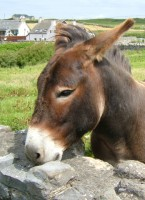 A friendly donkey in Doolin, Co. Clare