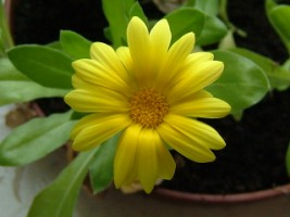 Calendula Marigold (calendula officinalis) in a pot in the friary, Ennis