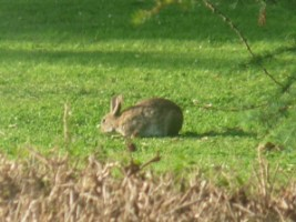 A close-up of the rabbit in Gormanston, Co. Meath