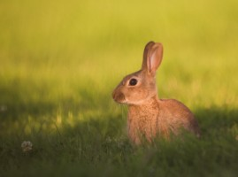 A rabbit in a field in Scarva, Craigavon, Co. Armagh - Photo by Adrian McGrath