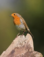 The robin, one of our most common garden birds. Photo by Adrian McGrath
