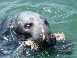 Seal in Loughshinny Harbour, Co. Dublin