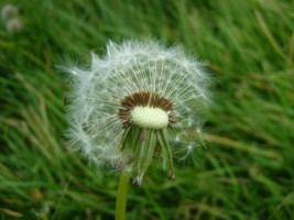 Dandelion near Spiddal, Co. Galway