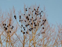 Starlings congregate in the trees in Ennis, Co. Clare