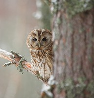A tawny owl fairly numerous in Britain & Europe. Photo by Adrian McGrath