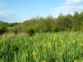 Yellow Iris and other wild plants growing in wetland beside Corrib, Co. Galway